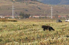 Elszállítottak egy hárombocsos medvét a Szent Anna-tó környékérõl