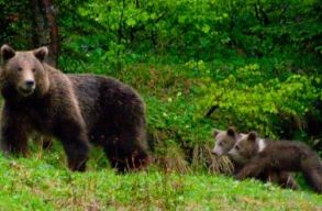 Három alkalommal is riasztották a csendõröket Tusnádfürdõn az elmúlt napokban a medvék miatt