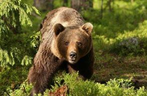 A szenátus megszavazta, hogy a barna medve 5 évre kikerüljön a szigorúan védett állatfajok listájáról