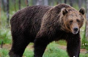 Két éjszaka alatt hat sertést pusztítottak el a medvék Maros megyében