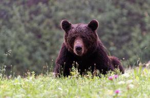 Ismét autót tört fel a medve Bálványoson