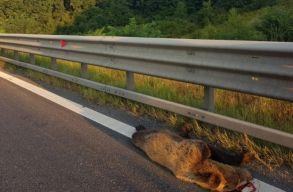Újabb medveáldozat az autópályán