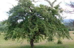 Megválasztották az év fáját 2017-ben