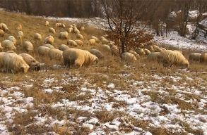 Mindent lerágnak tövig a juhok, és túl sokan vannak