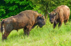 Már több mint 50 bölény él szabadon Romániában két helyszínen