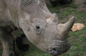 Orvvadászok öltek és csonkítottak meg egy orrszarvút egy Párizs melletti állatkertben