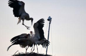 Nagy csata volt szerdán a magyarfenesi gólyafészekben
