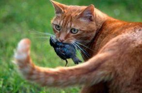 Romániában is sok problémát okoznak a macskák