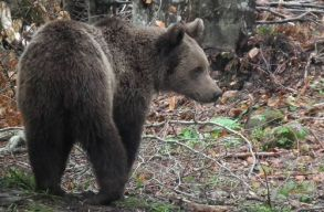 Feloldatnák a medvék kilövési tilalmát az RMDSZ-esek