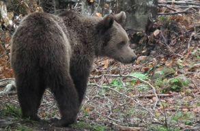 Csibi Magor: a medvék kilövésével kapcsolatban nagyon pontos rendeletet kell majd hozni