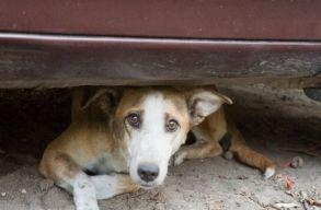 Csak a fajtiszta kutyák szaporodhatnak Sepsiszentgyörgyön