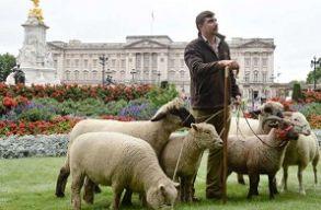 Egy nap alatt híresség lett a Buckingham-palota tövében legelõ birkákból