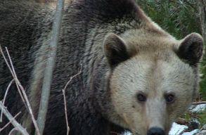 Nem kilövik, hanem átteleptik a medvéket