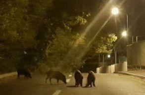Brassóban egy éjszaka alatt vaddisznócsorda és medvék is jártak