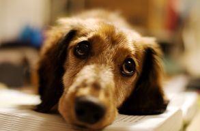 Bebizonyították, hogy tudatosan vágnak fejeket a kutyák