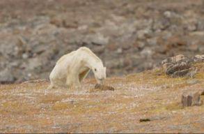 Így néz ki, amikor éhen hal egy jegesmedve