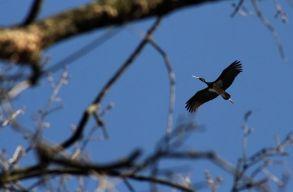 Fekete gólyát láttak Székelyudvarhely határában