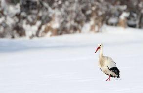 Próbára teszi a korán érkezett gólyákat a télies idõjárás