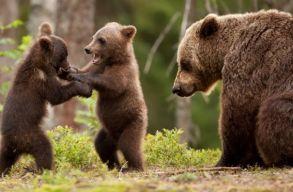 A szakemberek jónak tartják a medvepopuláció megõrzésére kidolgozott akciótervet