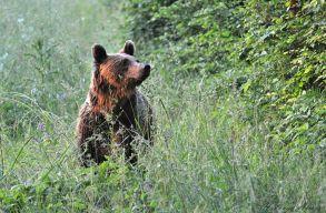 Vadászattal lehetne védeni a medvéket?