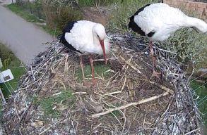 Kikelt az elsõ két kis gólya a magyarfenesi fehérgólya-fészekben