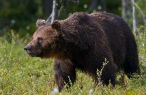 Egy éven belül kártérítést kaphatnak a medvetámadások személyi áldozatai