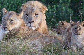 Orrszarvúra akartak vadászni, de felfalták õket az oroszlánok