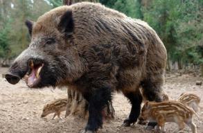 Teljesen elhibázott, hogy a vaddisznók leölésével akarják megfékezni a sertéspestist a Román Madártani Társaság szerint