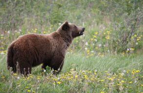 Kilõttek még egy medvét Tusnádfürdõn