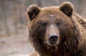 Kilõttek egy medvét Csíkszeredában; az állat az iskola udvarán próbálta elfogyasztani az egyik gazdaságból elhurcolt kecskét