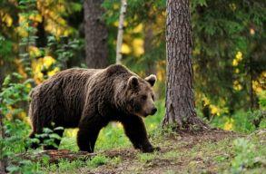 Kórházba került egy Hargita megyei férfi, miután rátámadt egy medve
