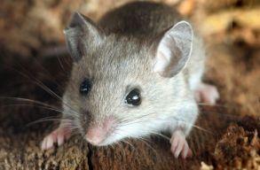 Perecek között mászkáló egeret filmeztek egy kolozsvári pékség kirakatában