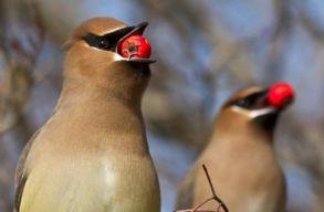 Részeg madarak duhajkodnak egy amerikai városban