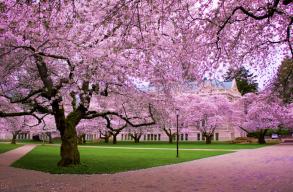 Japánban az õsz kellõs közepén hirtelen virágba borultak a cseresznyefák