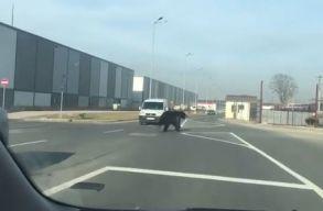 Olyan veszélyesek a brassói medvék, hogy beindul tõlük a RO-ALERT