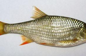 A vörösszárnyú keszeg lett az év hala, csalással sem tudták legyõzni