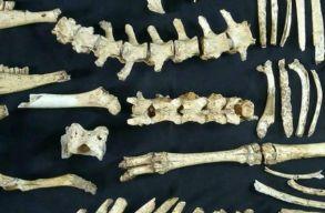 Legalább 12 ezer éve élt szarvas maradványai kerültek elõ