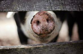 Az illegális húskereskedelem miatt fertõzõdhettek meg Kovászna megyében is a sertések