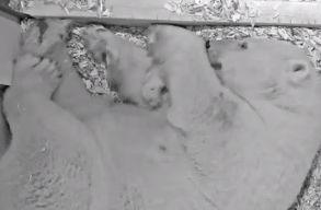 Videó: Erõs és egészséges a berlini állatkertben született jegesmedvebocs