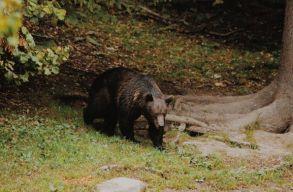 Hol járunk most, és merre kellene tartsunk a medveügyekben Székelyföldön?
