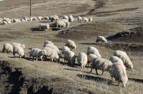 Lassan több juh, tehén és kecske él Romániában, mint ember