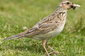 Be kellene tiltani az énekesmadarak vadászatát Romániában a biológusok szerint