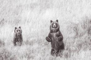 Mit tanulhatunk az amerikaiaktól a medve-ember konfliktusokról?