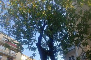 Egy kõrisfa védelmére keltek a szatmárnémetiek