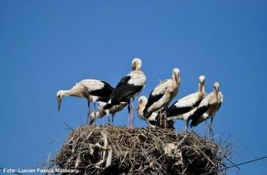 Egy székelyföldi településen van a legtöbb gólyafészek az országban