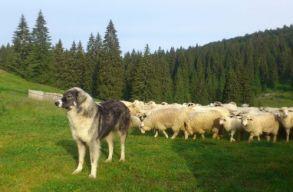 Sok a juh, így sok a juhászkutya is. De mit tegyél, ha túrázás közben találkozol eggyel?