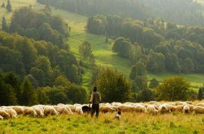 Sok a juh, kevés a megbízható ember: kinek éri meg a juhászkodás?