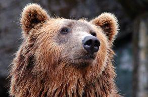 Hétvégén a medvék háromszor is megugrasztották a Brassó megyei hatóságokat