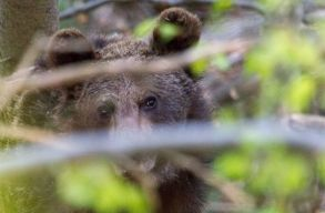 Fussunk, ha a medvével találkozunk, vagy szavaljunk neki Kosztolányit?