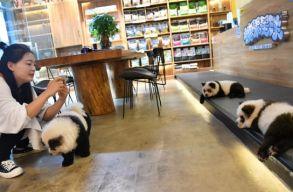 Pandává festettek át kutyákat egy kínai kávézóban, hogy jobban menjen az üzlet